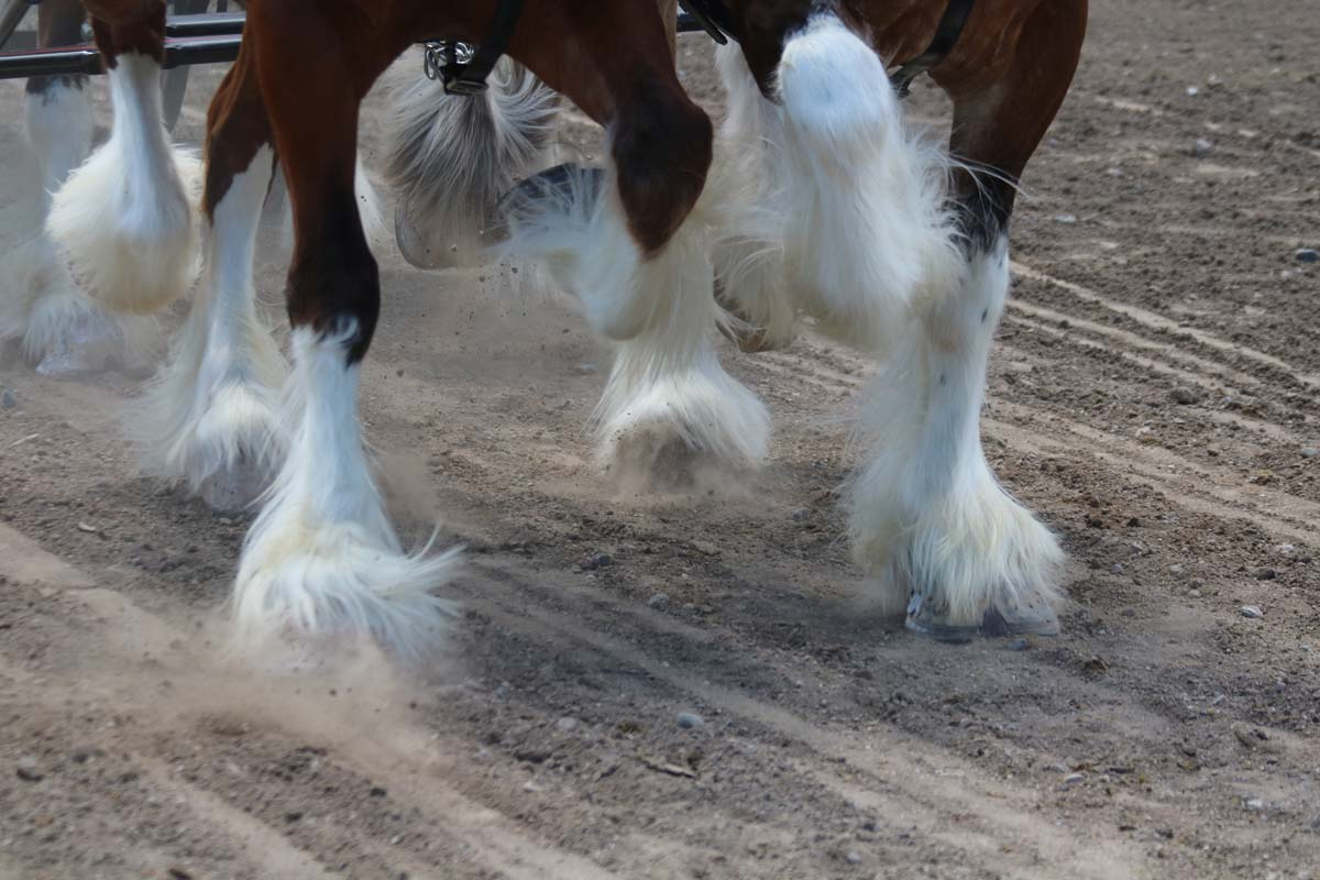 Big Sky Draft Horse Event Information for Competitors